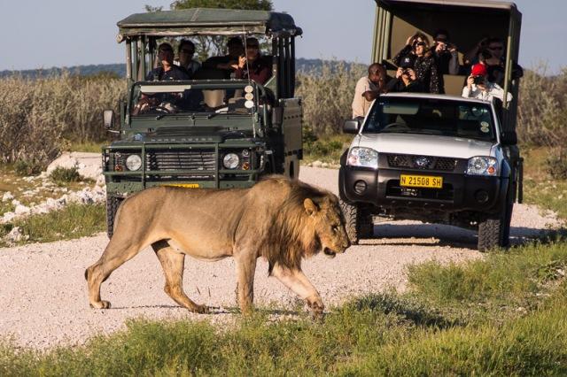 Lion devant les véhicules de safari